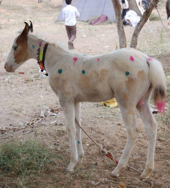 DSC_1854IndiaPushkarCamelFairPipiLangkous