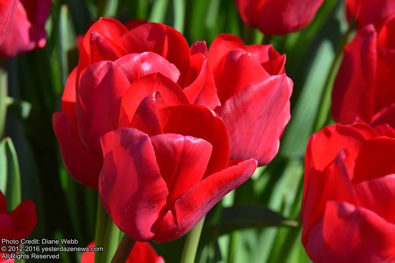 Tulip Festival 2016 Photo By Diane Webb 15