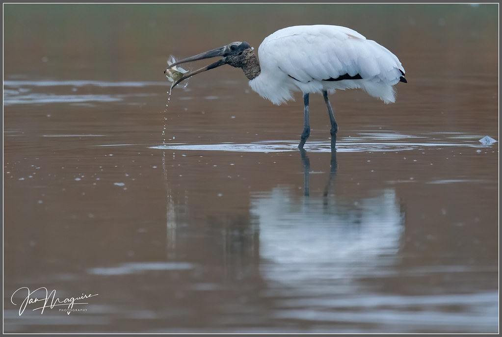 Wood Stork with Catch 1897