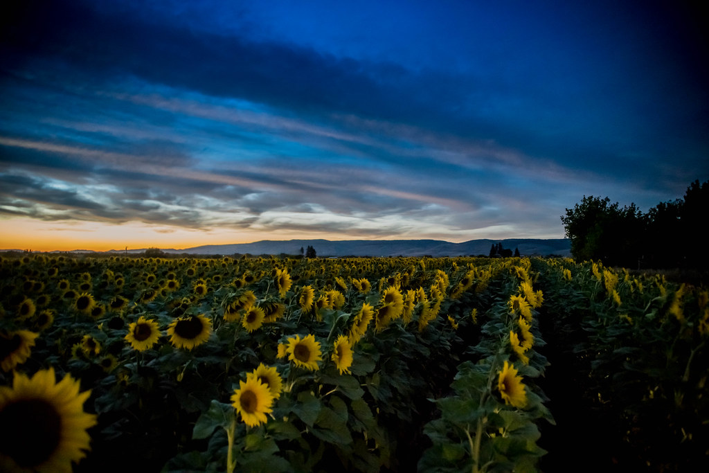Sunflowers (1 of 1)