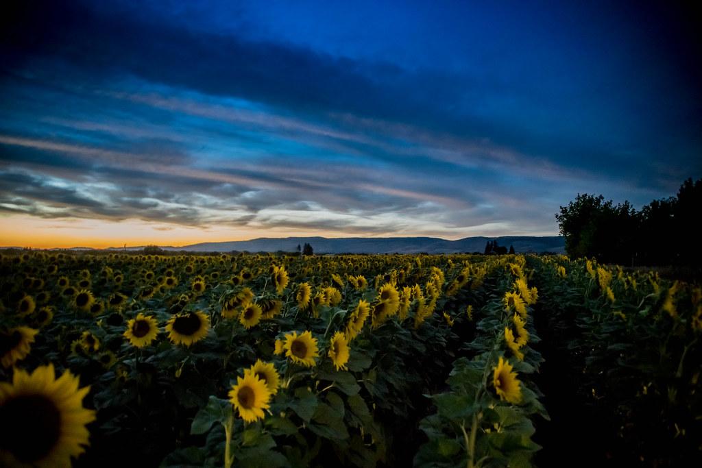 Sunflowers (1 of 1)