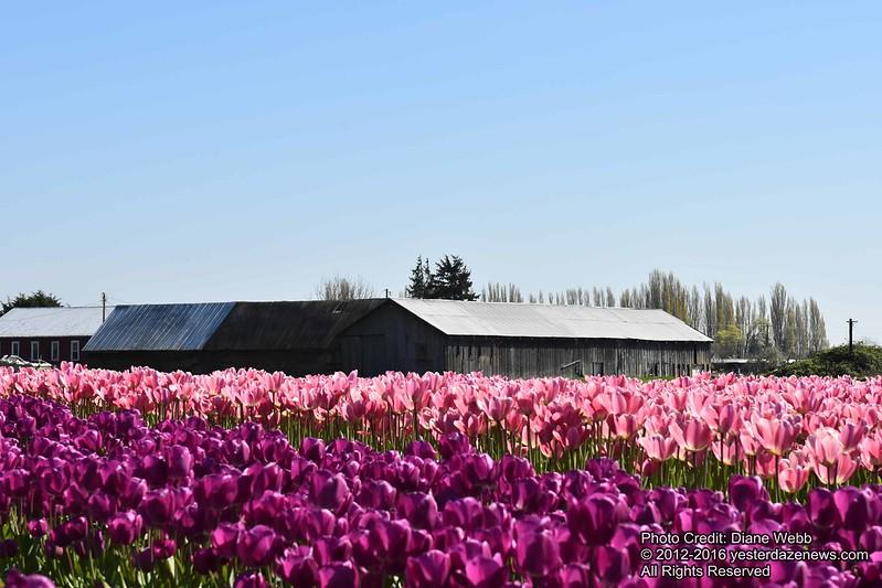 Tulip Festival 2016 Photo By Diane Webb 12