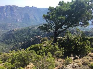 Crêtes de Luviu : un beau pin à l'approche de la crête