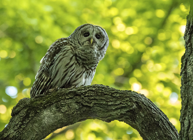 Barred Owl......