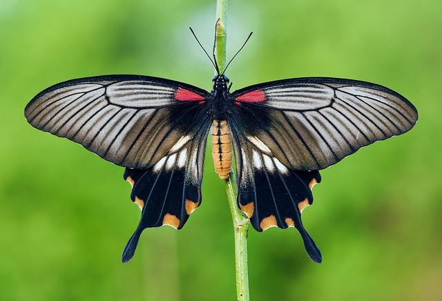 Papilio lowi (Asian swallowtail)