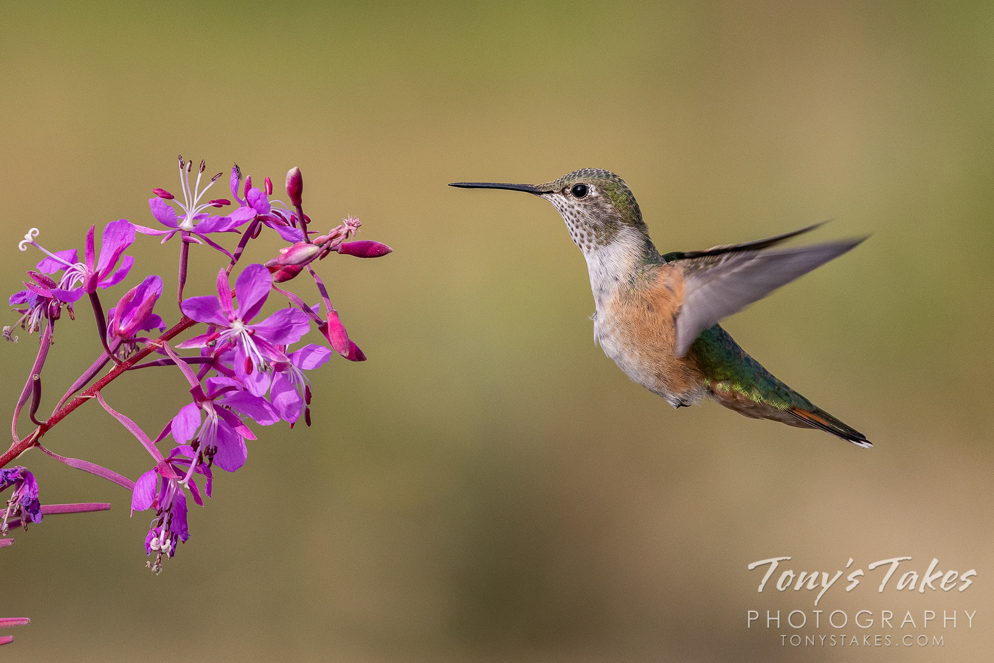 Hummingbird prepares to sample a flower