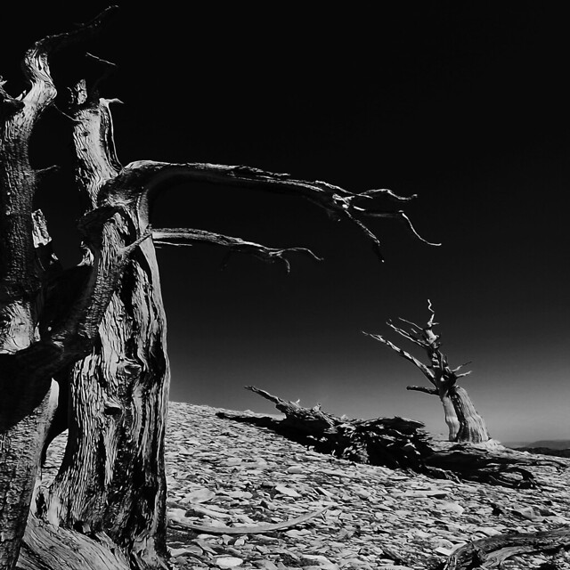 Reaching Out...Three Bristlecone Pines After a Long Life.