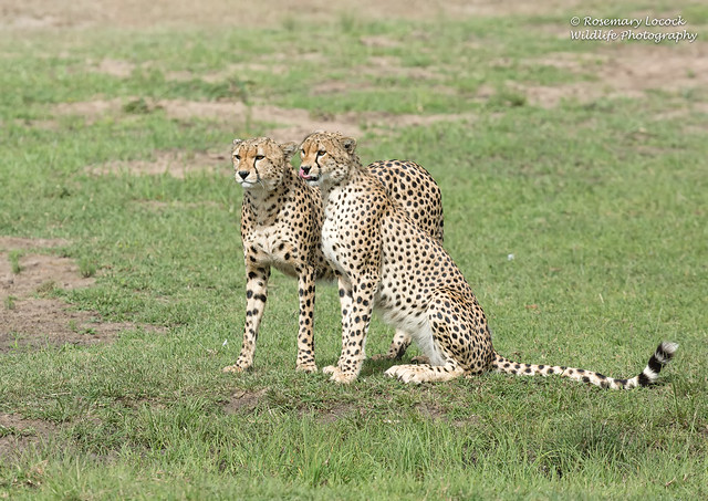 Male Cheetah's - Acinonyx jubatus
