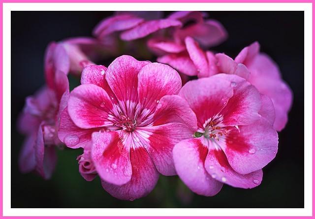 Pink and Crimson Mist - a zonal geranium