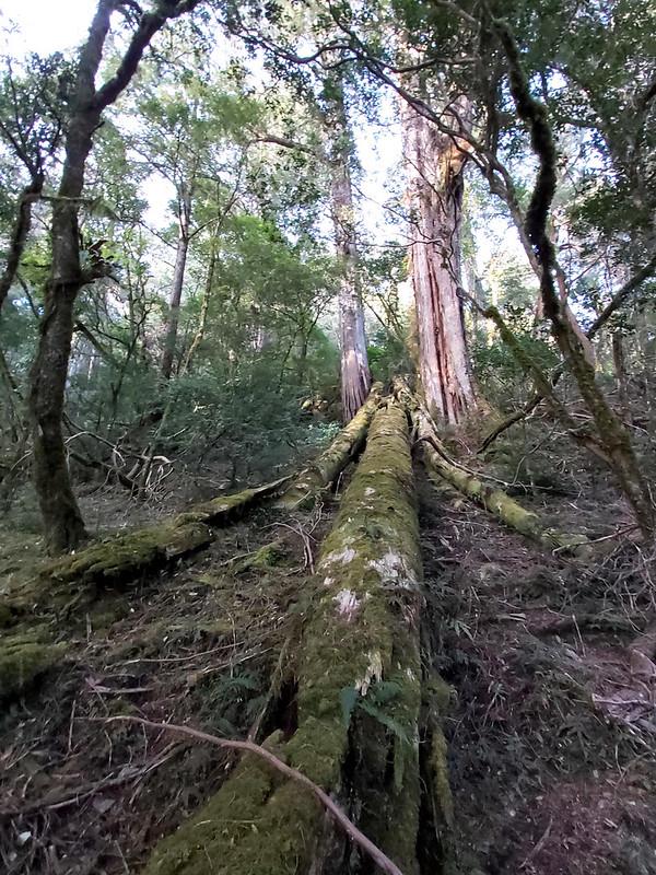 Smangus- humongous trees