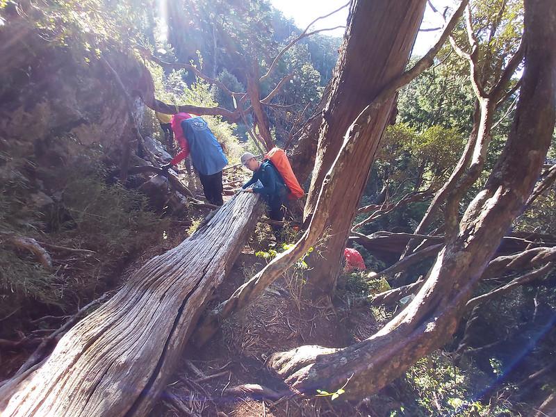 Smangus-climbing over fallen trees