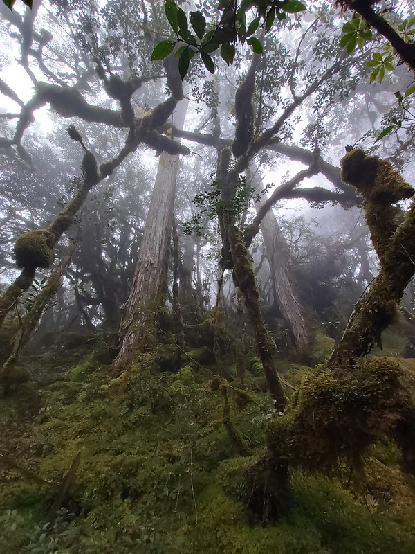 Smangus-mysterious world: trees covered by mosses