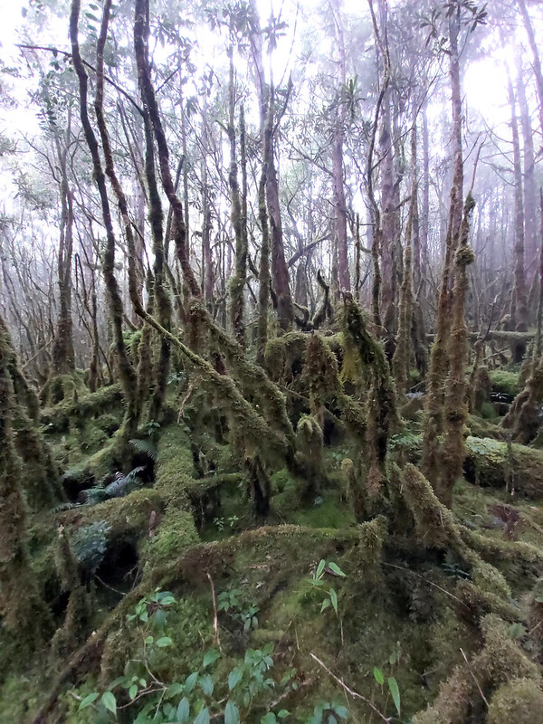 Smangus-mystic world: trees covered by mosses