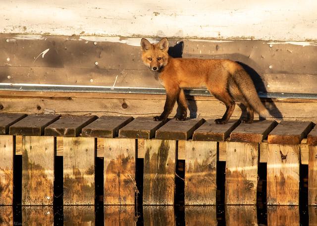 Urban Fox kit prowling the dockside