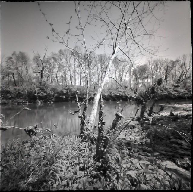 Birch Tree at Creekside.