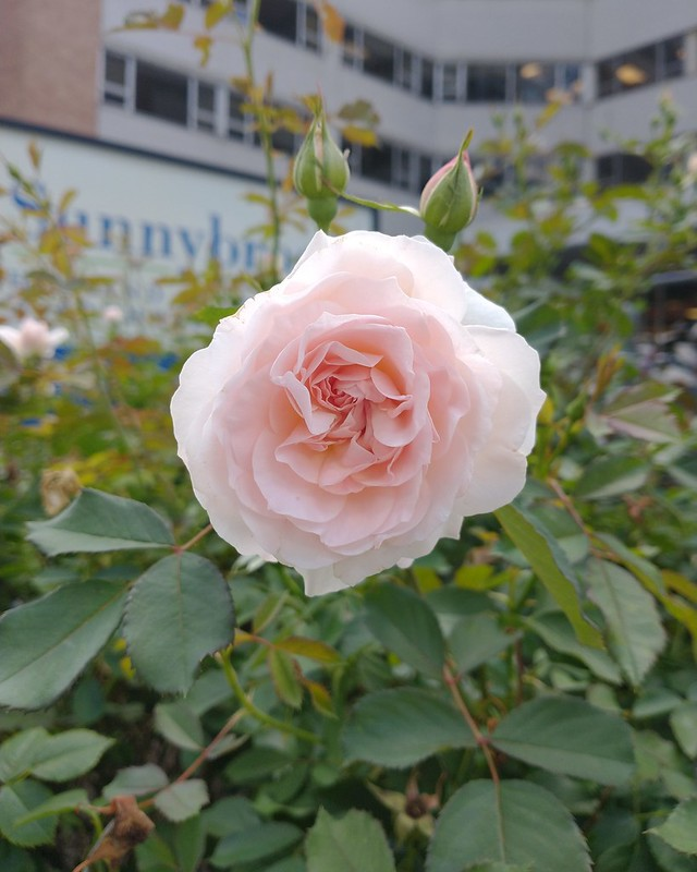Rose of Sunnybrook #toronto #churchandwellesley #wellesleystreet #flowers #pink #rose #sunnybrook