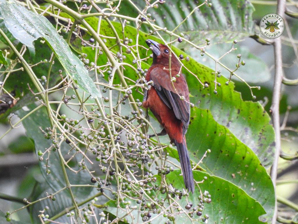 Fauna:  Silver-beaked tanager (Ramphocelus carbo)