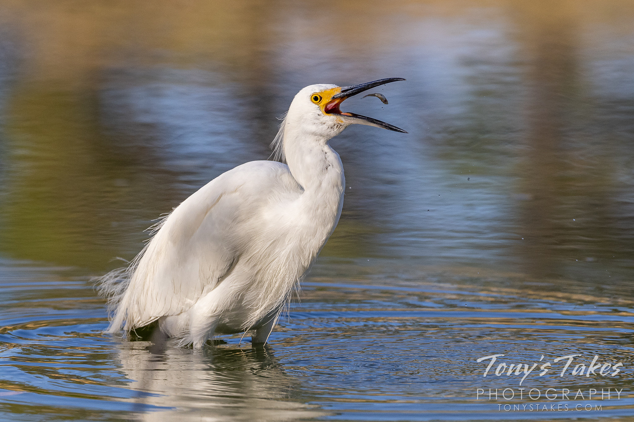 Snowy egret plays with its food