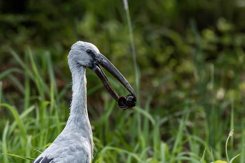 asianopenbill anastomusoscitans stork bird nature wildlife southeastasia chiangmai thailand