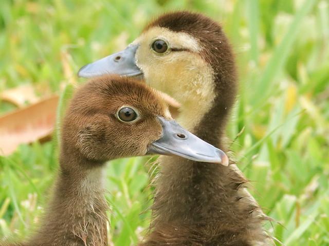Muscovy ducklings 04-20200819