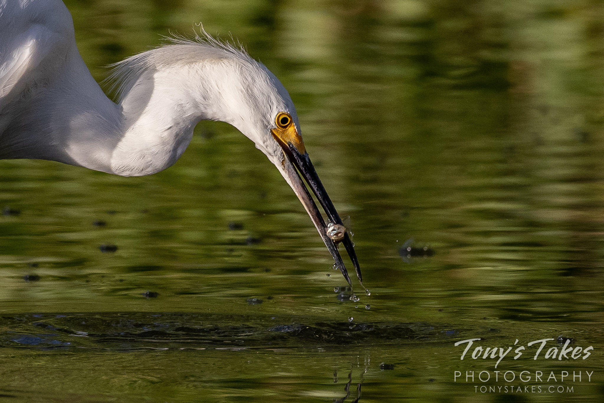 Snowy egret nabs a meal