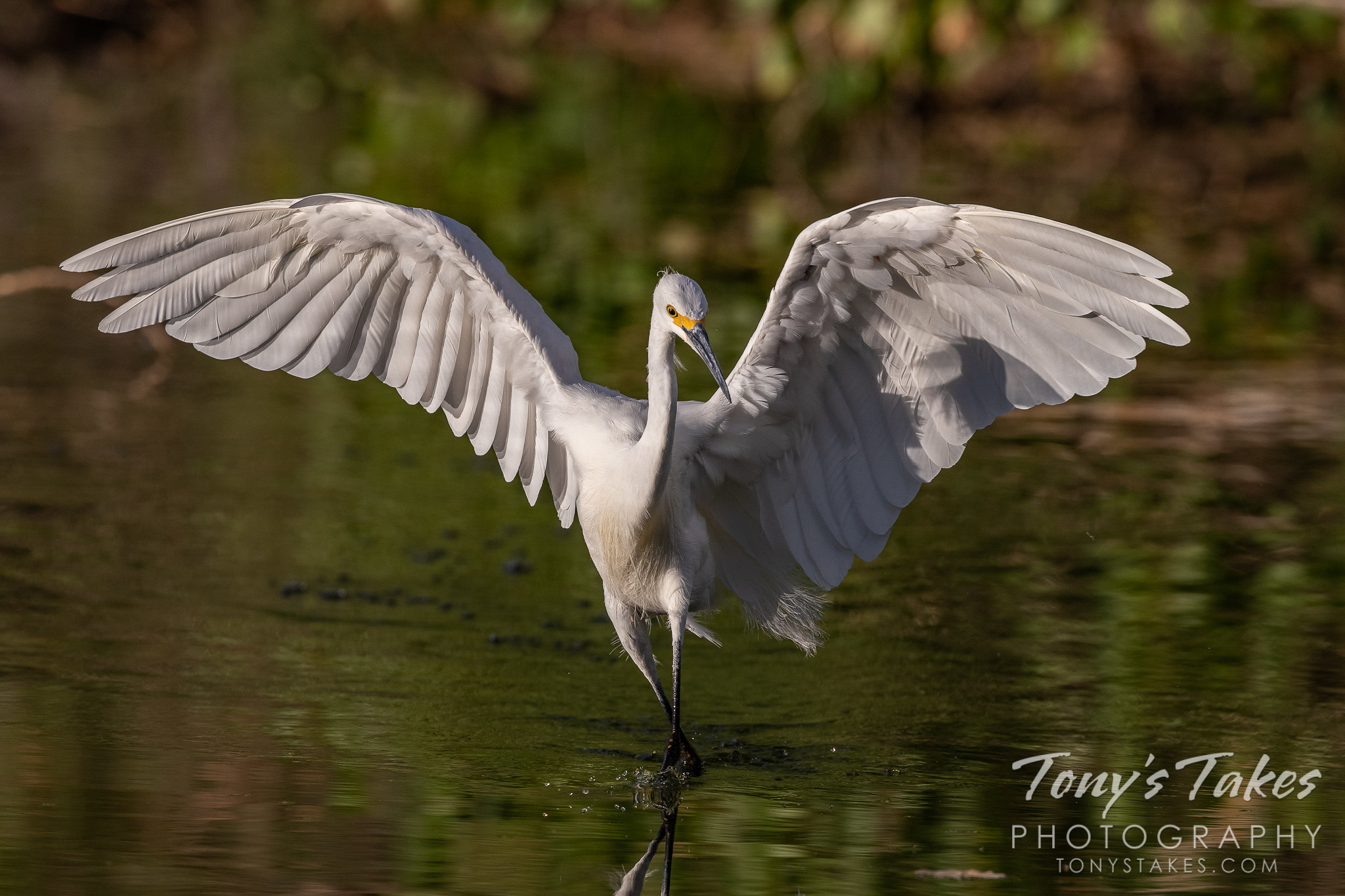 Snowy egret performs a delicate dance