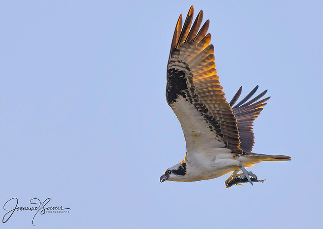 Osprey with a nice catch for dinner Vermont