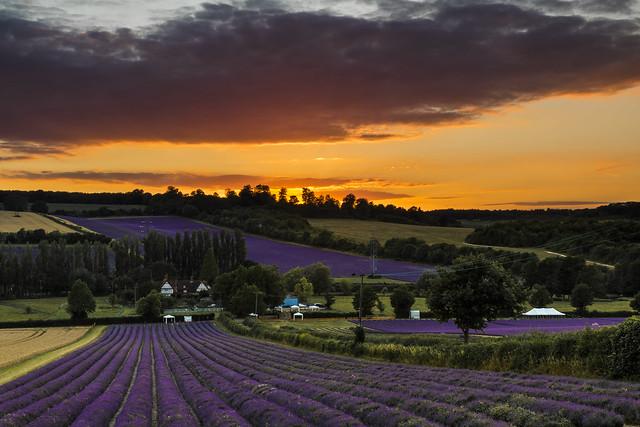 Castle Farm Lavender - Kent