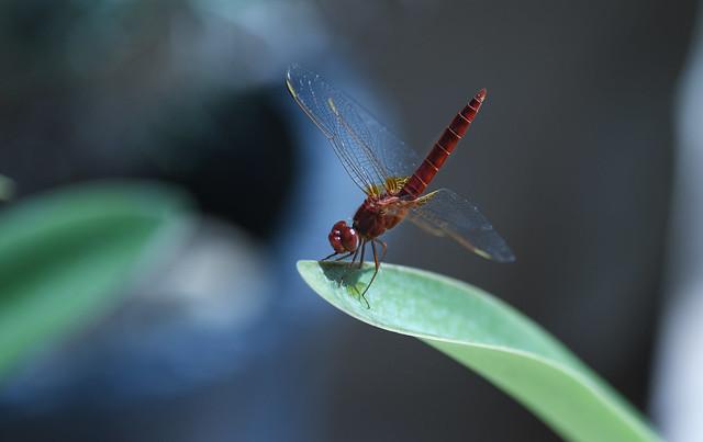 libel-lula     dragonfly