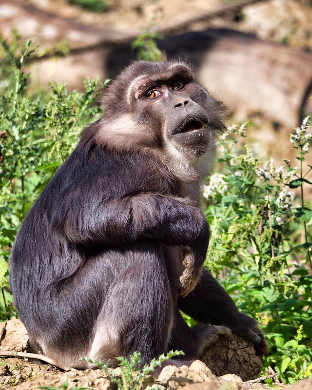 Macaques de Tonkéan 50247189248_284997f3dd_c