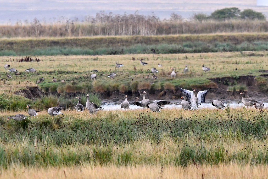Elmley Nature Reserve on the Isle of Sheppey