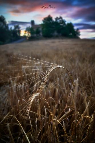 wheat ermita sunset atvjavi