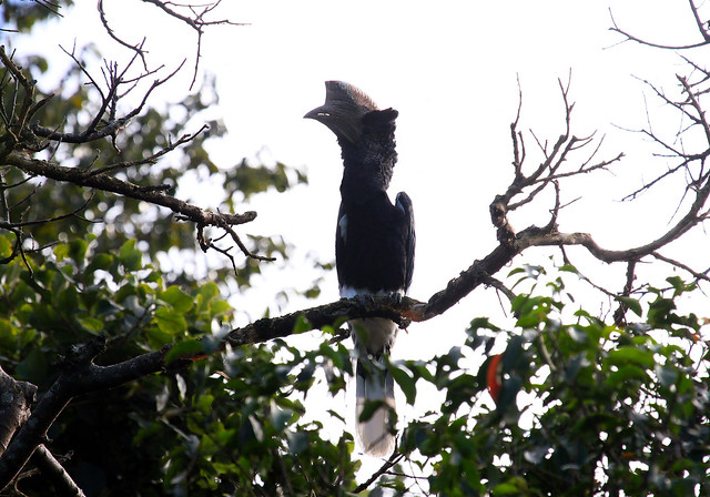 Black-and-white-casqued Hornbill (Bycanistes subcylindricus) Серощекий калао