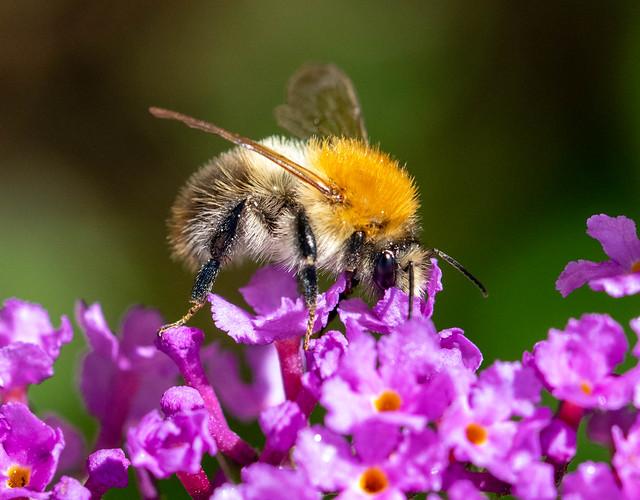 Akkerhommel (NL), Common Carder Bee (EN), Bombus pascuorum (LA)