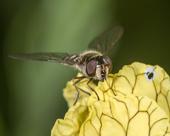 Syrphid in the garden