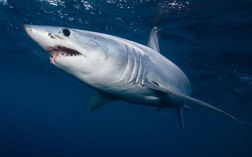 The Speedy Mako Shark