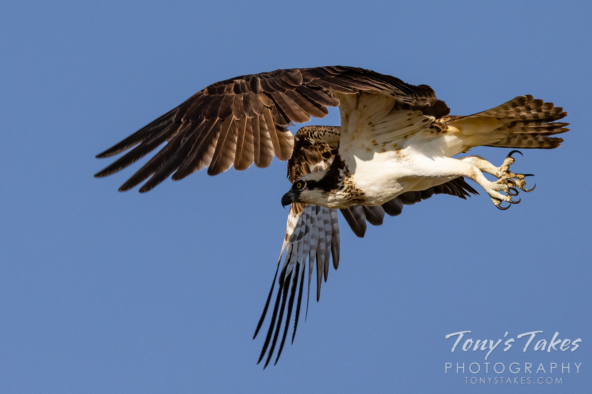 Female osprey takes to the skies