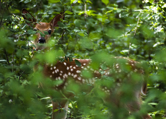 Fawn in Brush