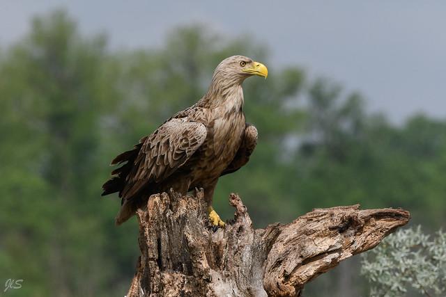 Portrait, White-tailed Eagle, Pygargue à queue blanche