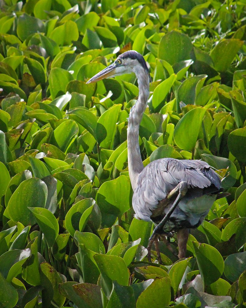 2020.07.25 La Chua Great Blue Heron 12