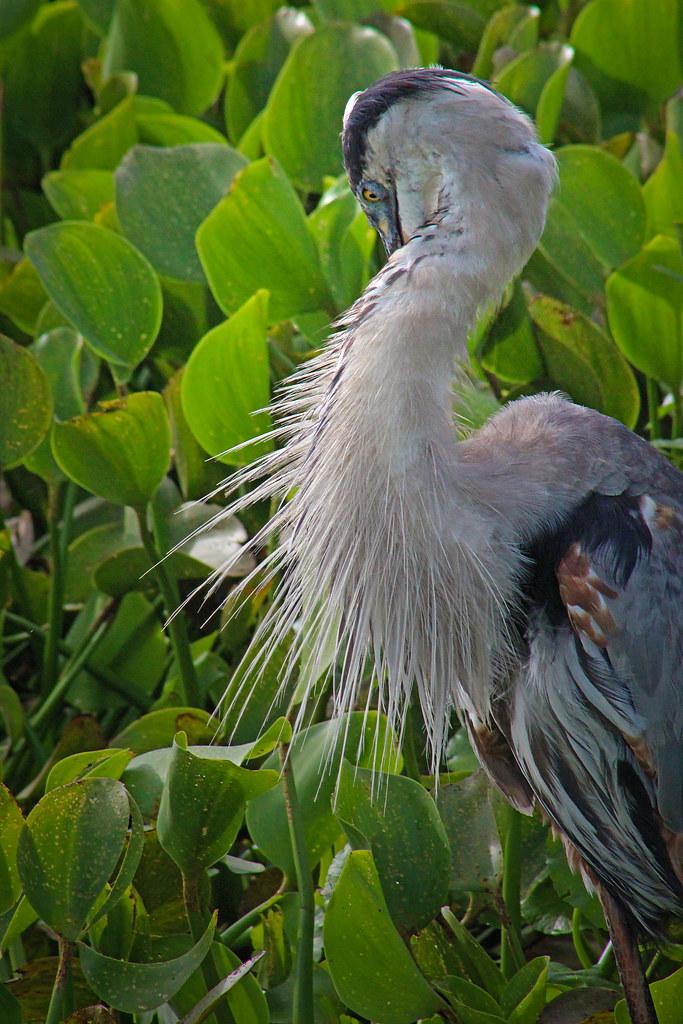 2020.07.25 La Chua Great Blue Heron 9