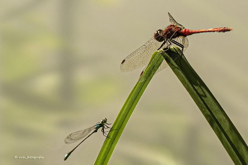 Blutrote Heidelibelle und blaue Schlanklibelle