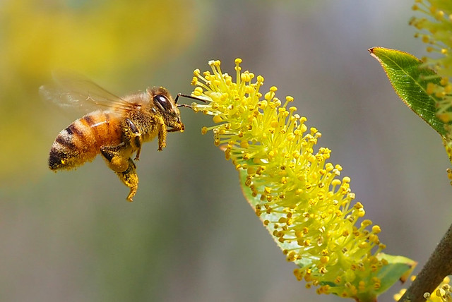 Honey bee on a willow