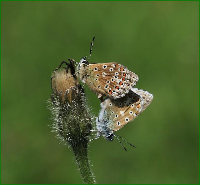 Adonis Blues - mating on dead Hawksbeard