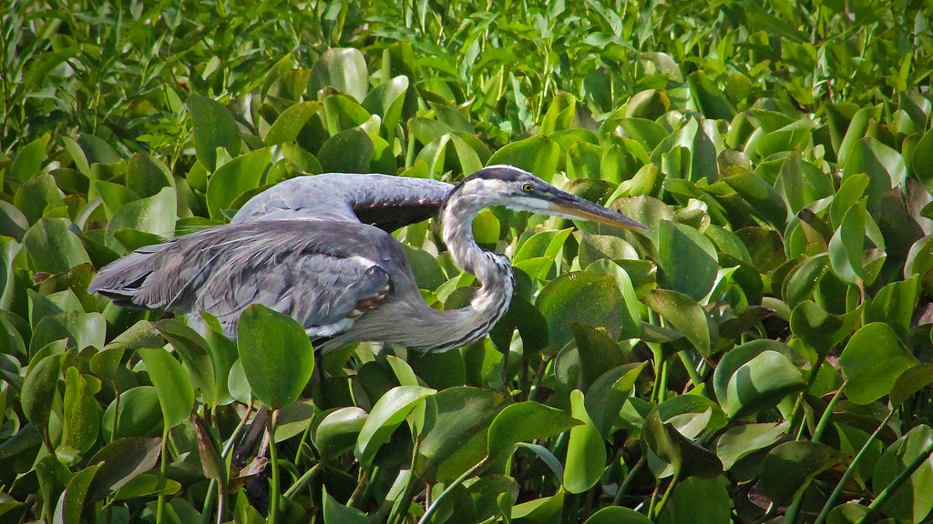 2020.07.25 La Chua Great Blue Heron 13