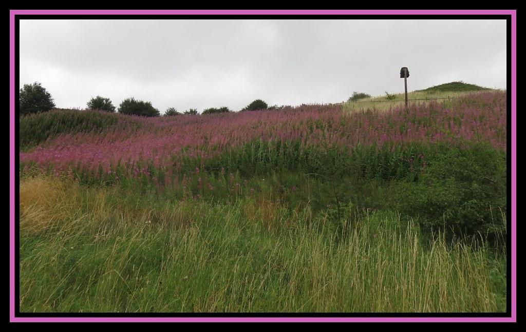 Rosebay Willowherb. Nettleton Top. Lincolnshire.