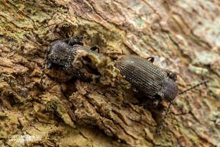 Darkling beetle (Gonocnemis sp.) - DSC_2947