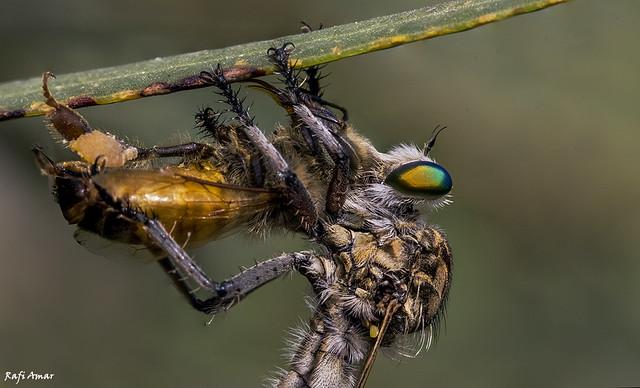 Robber flies - Machimus decipiens