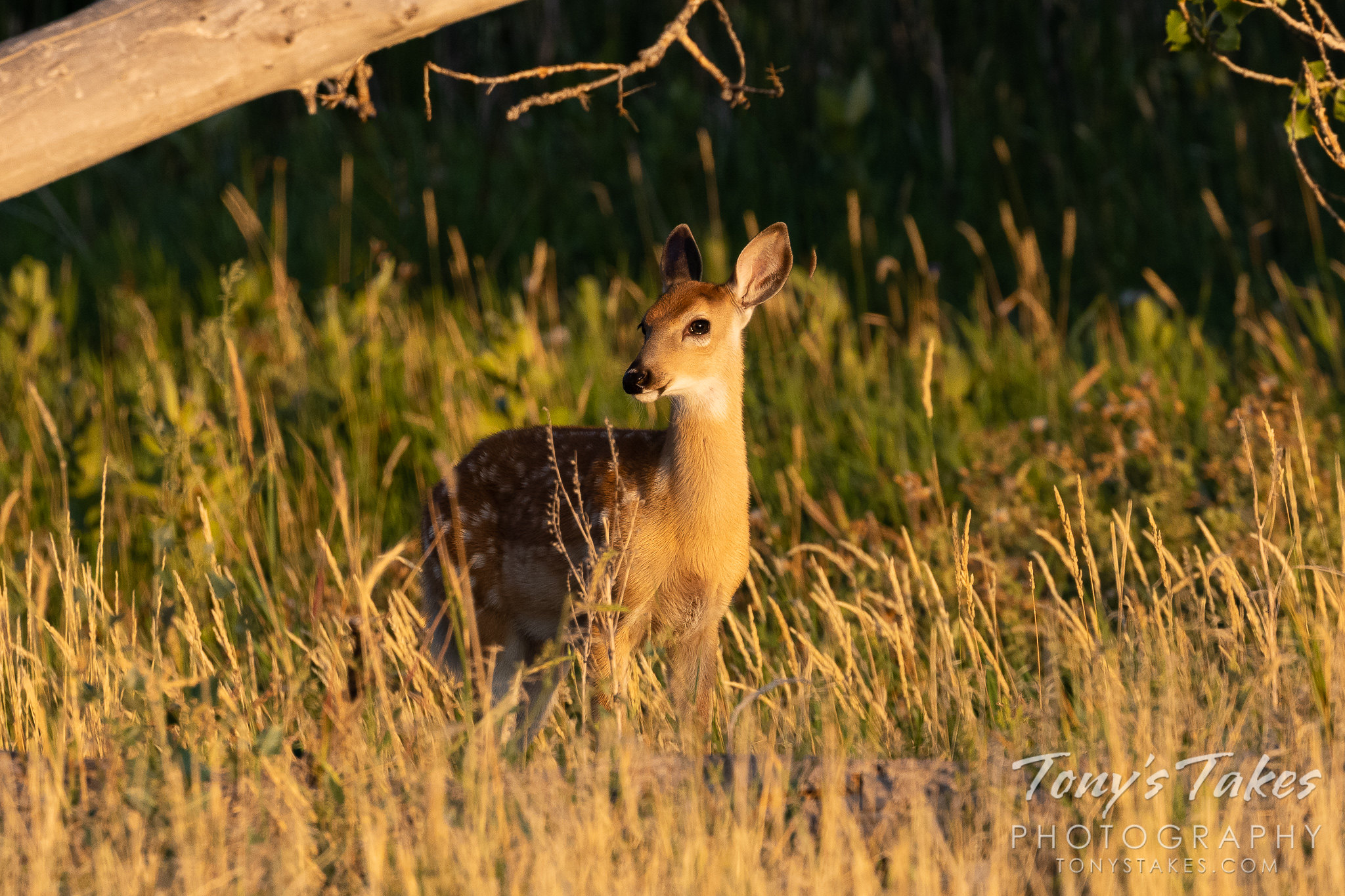 Precious deer fawn poses in the early morning light