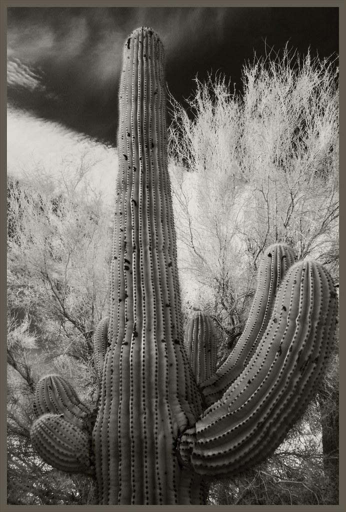 Cacti IR #34 2020; Saguaro Amid Palo Verdes